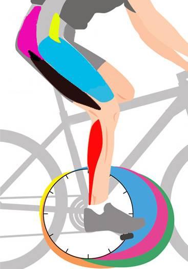 Какие группы мышц работают на велосипеде